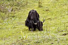 Yak on Mountain while returning from Punakha